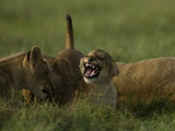 African Lioness, Panthera Leo, Resting with Cubs