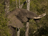African Elephant, Loxodonta Africana, Among Trees and Bushes