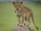 African Lion Cub, Panthera Leo, Standing on a Mound of Soil