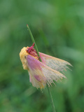 A Dew-Covered Rosy Maple Moth, Dryocampa Rubicunda, Clinging to Grass