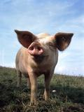 Portrait of Yorkshire piglet