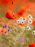 Poppy, camomile and larkspur Photographic Print