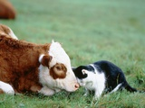 Black and White Cat and Calf Touching Each Other with Heads