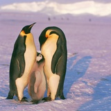 Family of Emperor penguins with fledgling