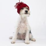 Terrier in Knit Cap