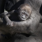 Baby Gorilla Being Held by Mother Fotografie-Druck