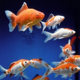 Several goldfishes in the aquarium