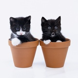 Two Kittens in Flower Pots