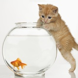 Buy Kitten trying to get at a goldfish at AllPosters.com