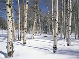 Quaking Aspens in Snow