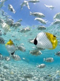 Buy Tropical Fish in Bora-Bora Lagoon at AllPosters.com