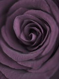 Deep Purple Rose