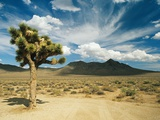 Joshua tree in death valley