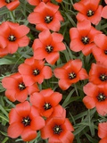 Top View of Red Tulips