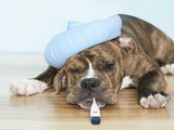 English Bulldog Feeling Sick