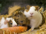 Guinea Pigs With Carrot