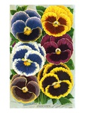 Seed Catalog Illustration of Six Pansy Blossoms