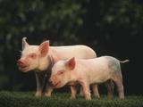 Yorkshire Piglets