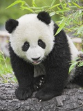 Baby Giant Panda Photographic Print