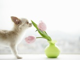Chihuahua Smelling Flowers in Vase
