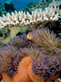 Buy Pink Anemeonefish Peering from Tenticles of Magnificent Sea Anemone at AllPosters.com