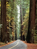 Avenue of the Giants in Autumn Photographic Print