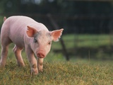 Yorkshire and Hampshire Mixed Breed Piglet