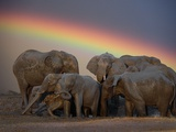 Elephants Taking Mud Bath