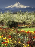 Tulips and Pear Orchard Below Mt. Hood