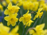 Yellow Daffodils