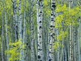 Spring Foliage on Trembling Aspen, Jasper National Park, Alberta, Canada.