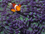 Buy Anemone Fish at AllPosters.com
