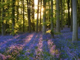Bluebell Wood at Coton Manor Photographic Print