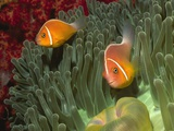Buy Pink Anemonefish in Magnificant Sea Anemone at AllPosters.com