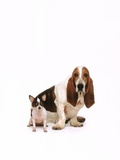 Basset hound and a chihuahua