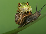 Tree Frog Resting on Snail's Shell