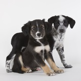 Brittany spaniel and Australian shepherd puppies
