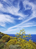 Buy Giant fennel and tree spurge on Stromboli Island at AllPosters.com