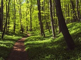 Path in beech forest Photographic Print