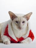 Siamese cat wearing Santa Claus costume