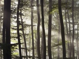 Sunbeams through a beech forest