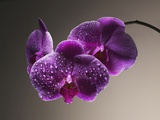 Water Drops on Orchids Photographic Print
