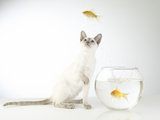 Buy Siamese kitten with jumping goldfish at AllPosters.com