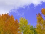 Quaking aspens in fall colors in Grand Teton National Park