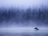 Moose Swimming in Bowron Lake Provincial Park, British Columbia, Canada.