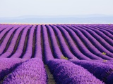 Lavender field in bloom Photographic Print