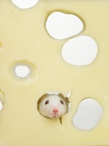 White mouse eating Swiss cheese