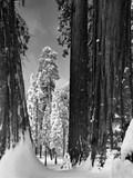 Snow-Covered Sequoias in Sequoia National Park