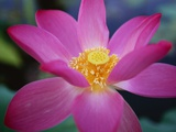 Red Lotus Lily Flower