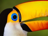 Head and Beak of a Toco Toucan